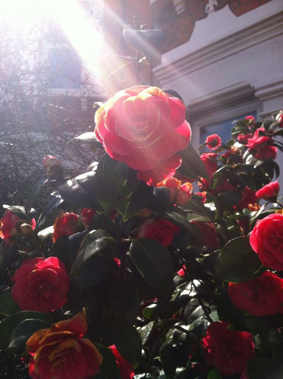 rose in sunlight