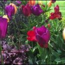 London photos: tulips in the park