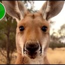 Kangaroo: A Love-Hate Story documentary review: of human cruelty